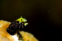 Secretary Blenny Catching Breakfast